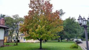 Tree with early fall coloration due to girdling roots