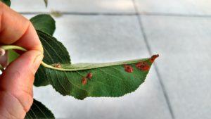 Cedar Quince Rust