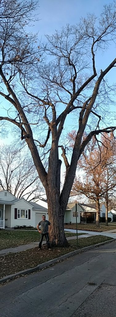 A large Elm Tree