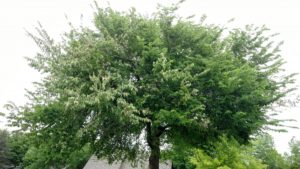 Dutch Elm Disease Tree Topeka Emporia