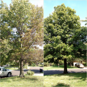 Iron Chlorosis in Oak Emporia Topeka