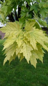 Maple Chlorosis Leaf1