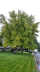 Maple tree chlorosis3