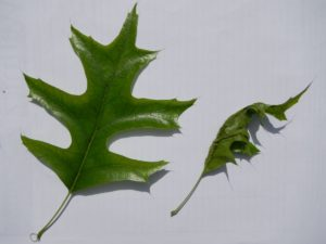 Normal-Leaf-with-Infected-Leaf