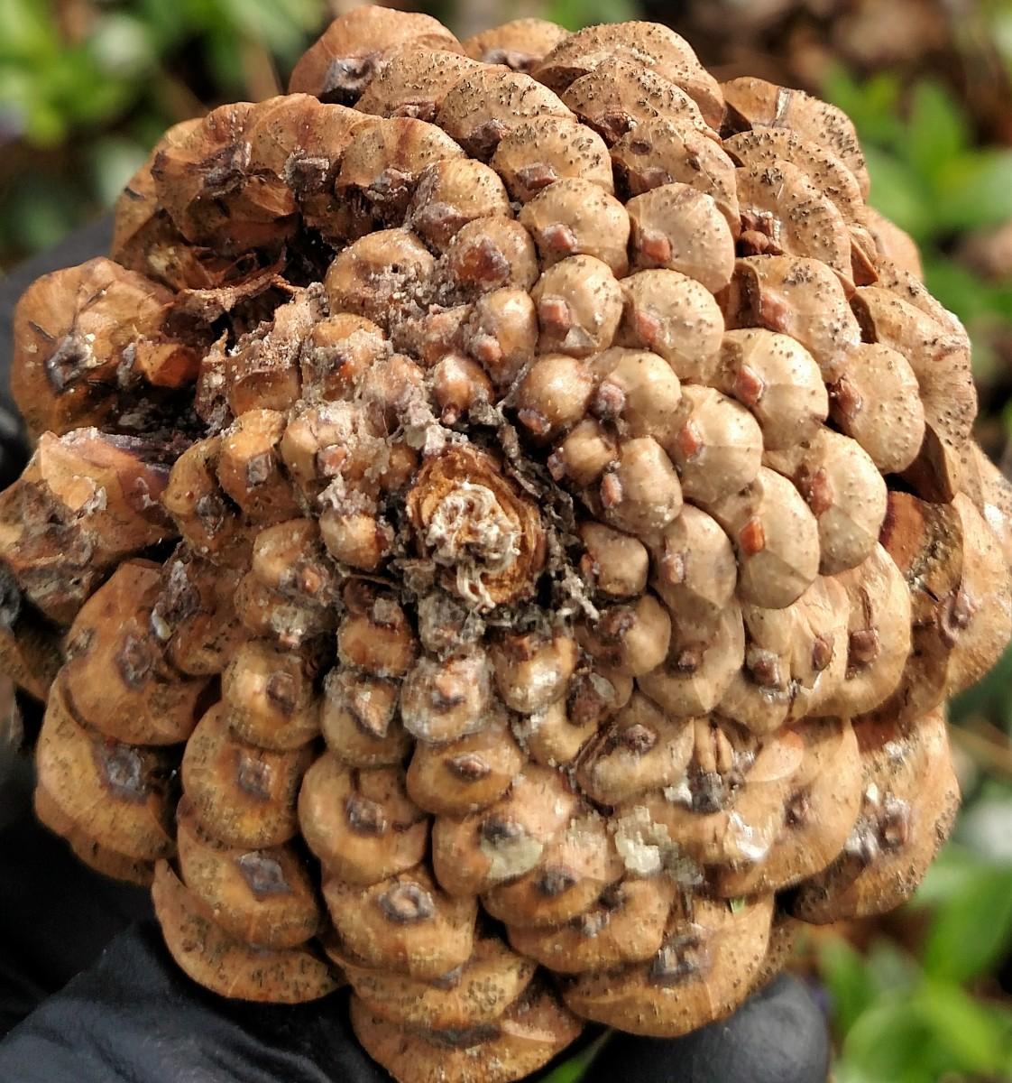 Pine cone with tip blight